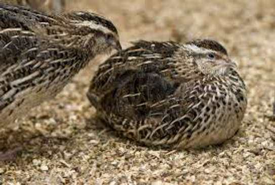 Quail birds for sale