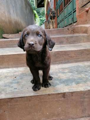 Pedigree Female Chocolate Labrador Puppy image 4