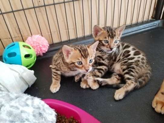 Sweet affectionate Bengal kittens for sale. image 1