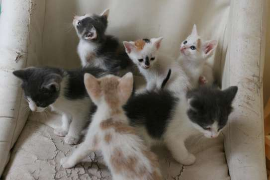 Baby Male fluffy Kittens image 1