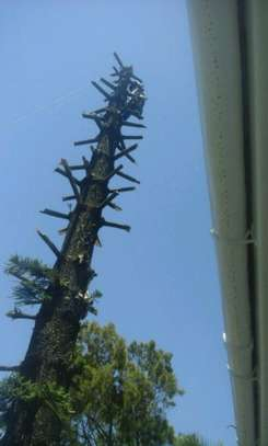 Tree Felling Services, Palm Tree Cleaning and Stump Removals image 4