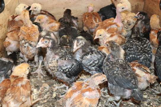 Poultry image 2