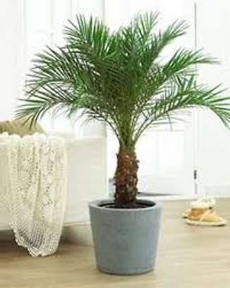 Majestic Palms for Indoor and outdoor decoration, snake plants, in Nairobi image 5