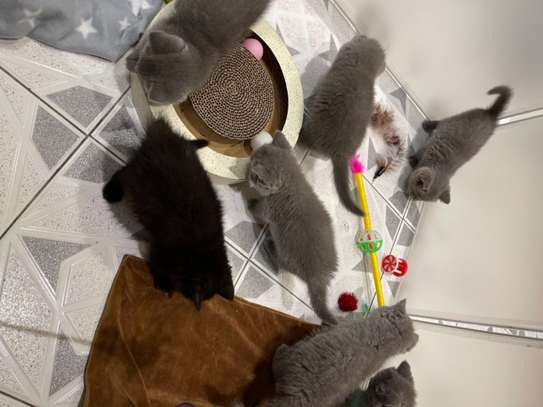Top Quality British Shorthair Kittens Ready To Go image 2