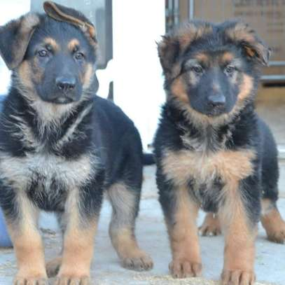 Germany shepherd