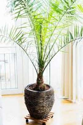 Majestic Palms for Indoor and outdoor decoration, snake plants, in Nairobi image 6