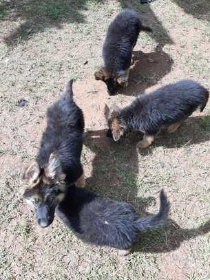 German Shepherd (Puppies) for sale. image 1