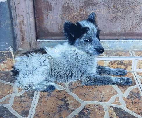Spitz x Terrier Cross puppy for sale.