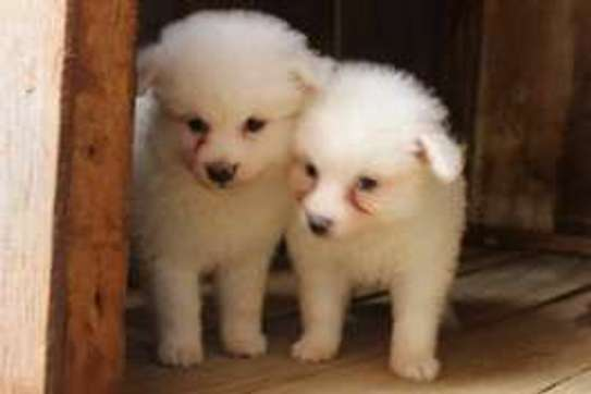 Japanese Spitz for sale.