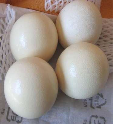 ostrich chicks  and eggs for sale