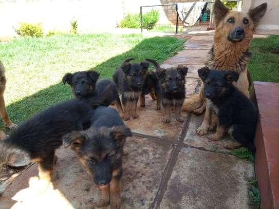 Long Coat German Shepherd Puppies image 2