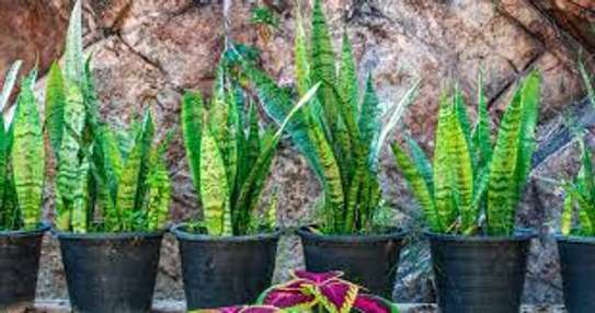 Majestic Palms for Indoor and outdoor decoration, snake plants, in Nairobi image 10