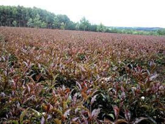 PURPLE TEA: Kenyans'Secret Weapon Against Viral Infections... and everything else! image 4