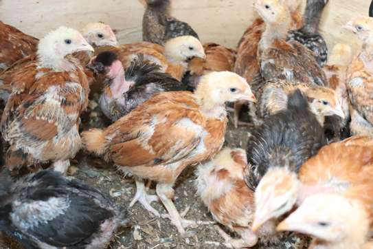 Poultry image 1