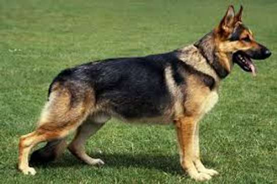 mature german sherpherd dogs image 3