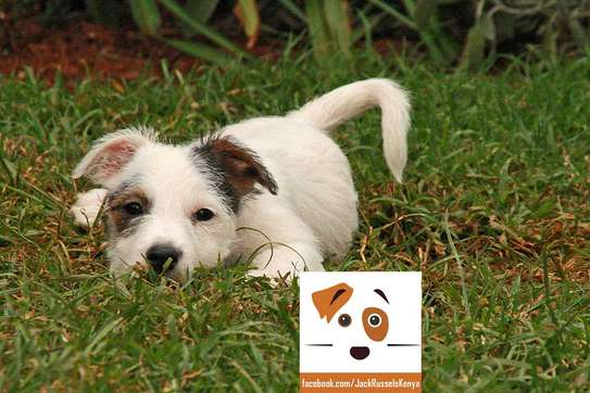 Adorable Jack Russel / Beagle Mix Puppies available image 4