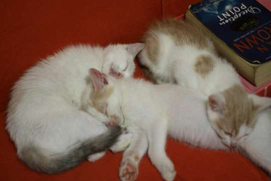 Baby Male fluffy Kittens image 3