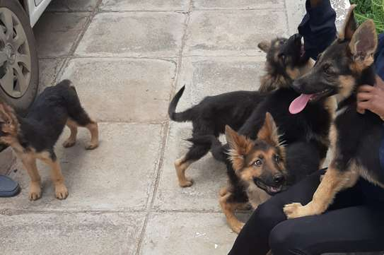 German Shepherd (Puppies) for sale. image 3