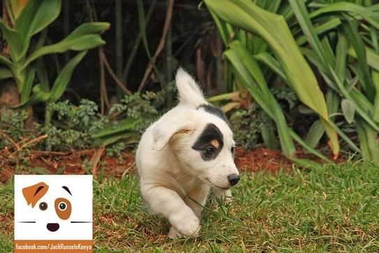 Adorable Jack Russel / Beagle Mix Puppies available image 2