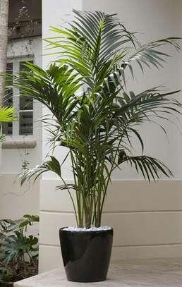 Psychosperma (Seaforthia Palm) image 1