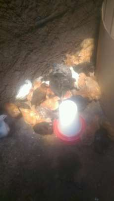 Rainbow rooster chicks image 1