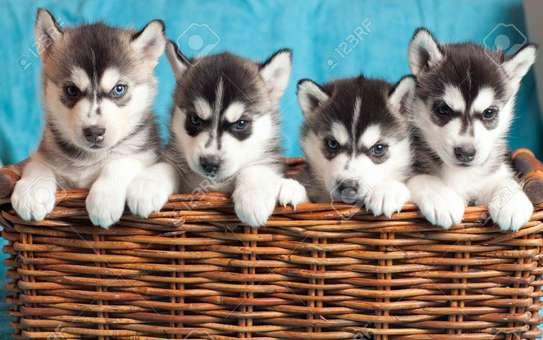 Pure Bred Full Pedigree Siberian Husky Pups image 1