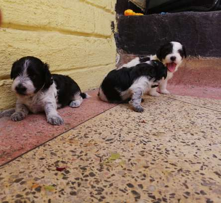 Maltese Puppies image 1