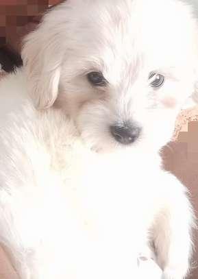 Havanese Puppy image 1