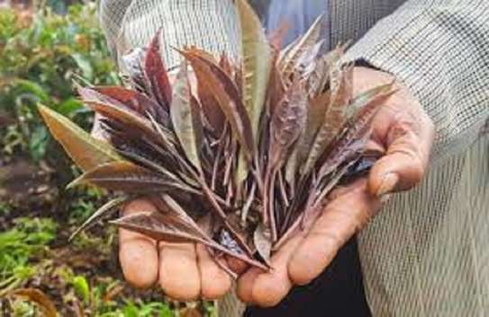 PURPLE TEA: Kenyans'Secret Weapon Against Viral Infections... and everything else! image 1
