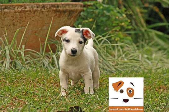 Adorable Jack Russel / Beagle Mix Puppies available image 5