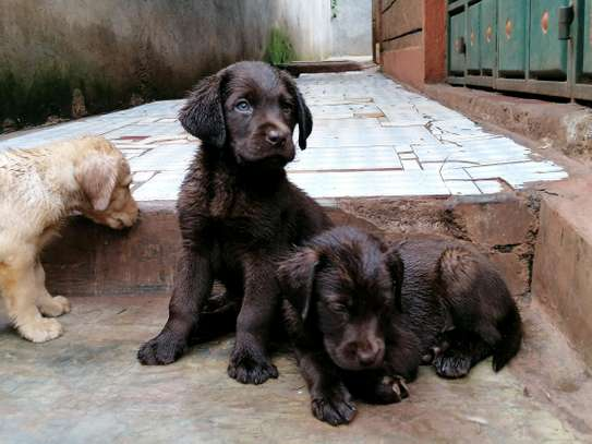 Pedigree Female Chocolate Labrador Puppy image 1