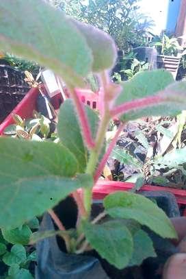 kiwi vines image 1