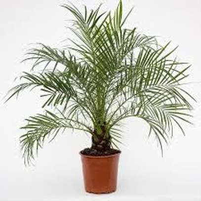 Majestic Palms for Indoor and outdoor decoration, snake plants, in Nairobi image 4
