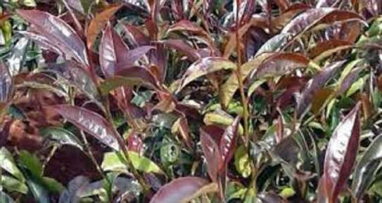 PURPLE TEA: Kenyans'Secret Weapon Against Viral Infections... and everything else! image 3