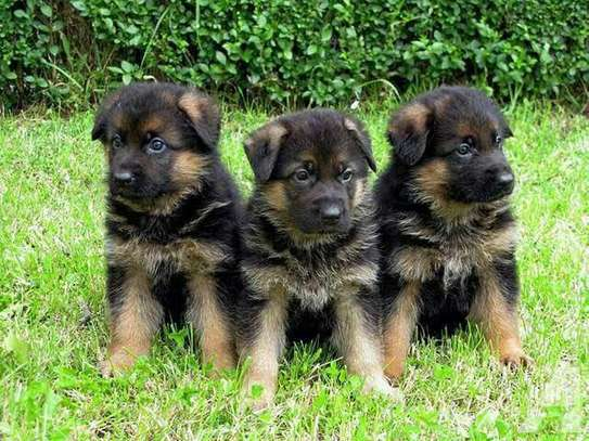 Pure Germans Puppies