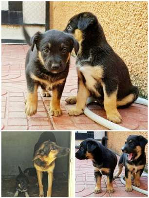 Little German Shepherd Dog For sell