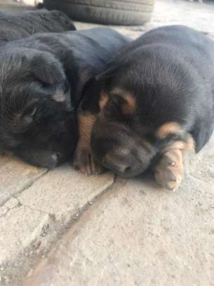 Doberman Pinscher X German Shepherd Puppies