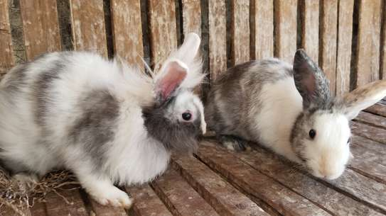 Rabbits for sell morethan two species.