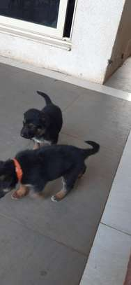 Pure breed Dogs and puppy for sale