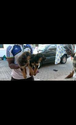 Baby Male Pure Breed GSD