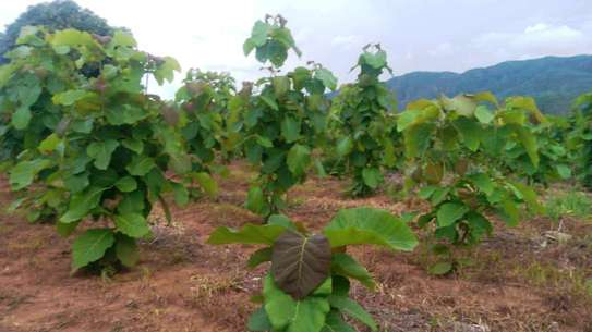 3 Acres Mitiki  Trees Farm in Songwe Region