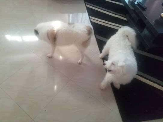 8 Months Puppies Tshs 600,000