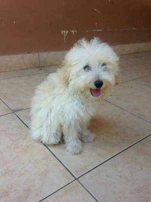 3 MONTHS OLD FEMALE MALTESE PUPPY FOR SALE image 3