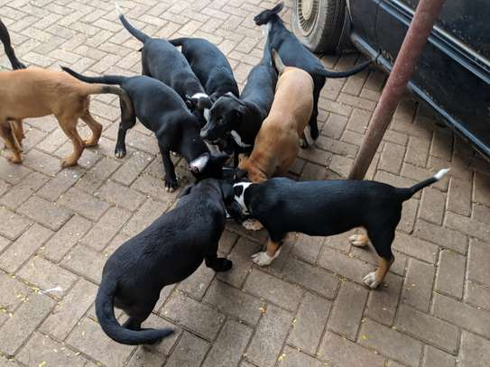 Puppies (Exotic American Bully X South African Boerboel)