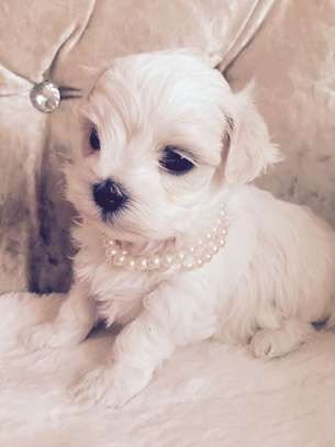 Pure Breed Blue Eyes Teacup Maltese Puppies