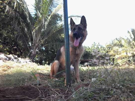 Male GSD image 1