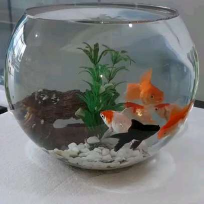 Beautiful 07 Litres Fish bowl with Goldfishes