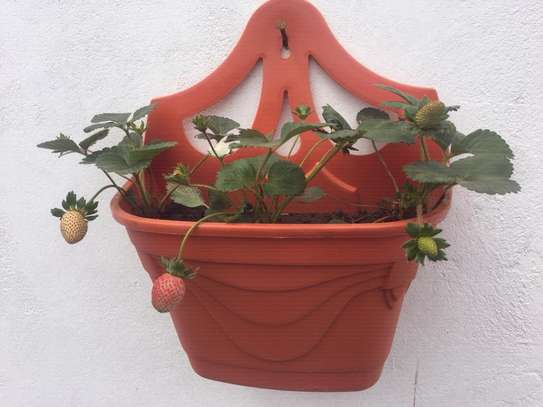 Packed Strawberry Plants