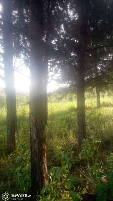 farm for sale at mufindi at iringa 100 acre with pine  tree , for sale tsh 1,500,000per acres image 2