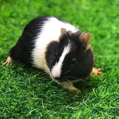 Gunea pigs available